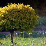 małe drzewka ozdobne